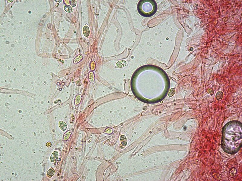 Hygrocybe virginea 15 Spore 400x RC.jpg