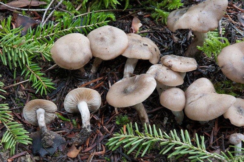 Lyophyllum-maleolens-2548_51_2019.jpg