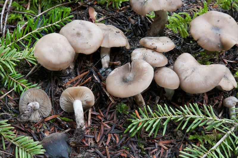 Lyophyllum-maleolens-2552_55_2019.jpg