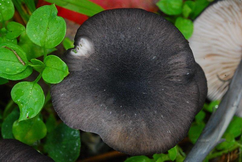 Entoloma serrulatum B TL191121-09 08.jpg