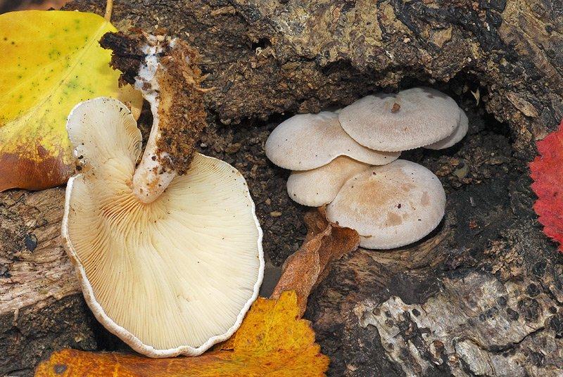 Ossicaulis lignatilis 02-3.jpg