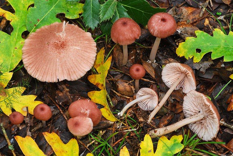 Entoloma roseum O TL191121-07 02.jpg