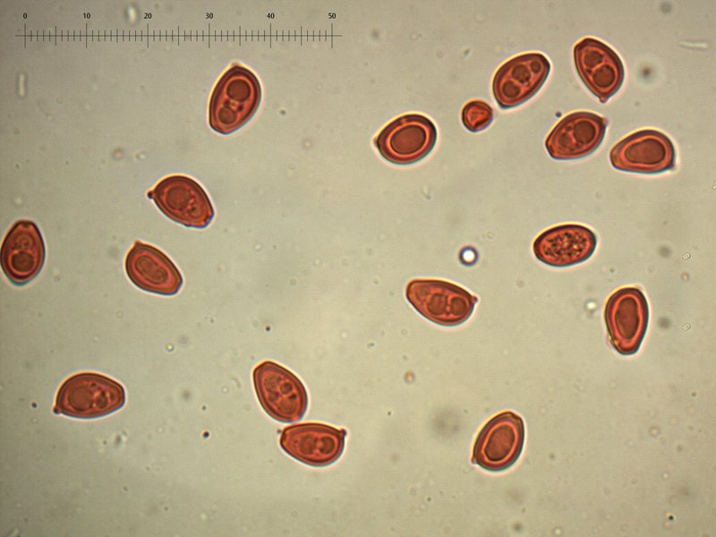 Chlorophyllum-brunneum-spore-rc-33_1000x.jpg