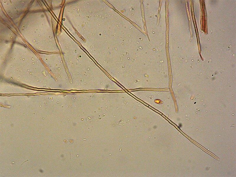 Marasmius-winneae-TL191207-01-57-61-Peli-basali-400x-RC.jpg