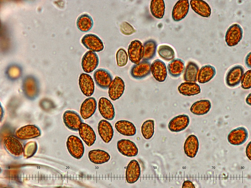 Gymnopilus stabilis 14 Spore 1000x L4_u.jpg