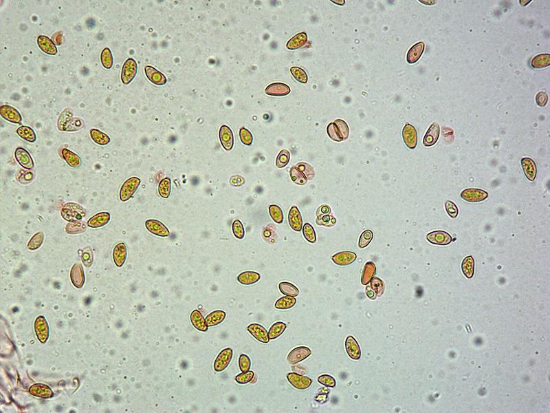 Bolbitius reticulatus 35  Spore 400x RC.jpg