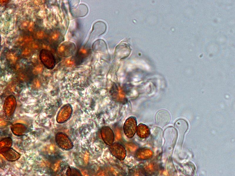 Gymnopilus stabilis 05-6 Cheilo 1000x L4.jpg