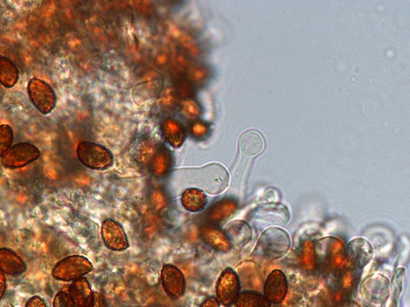 Gymnopilus stabilis 07 Cheilo 1000x L4.jpg