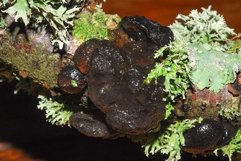 Exidia glandulosa 01.jpg