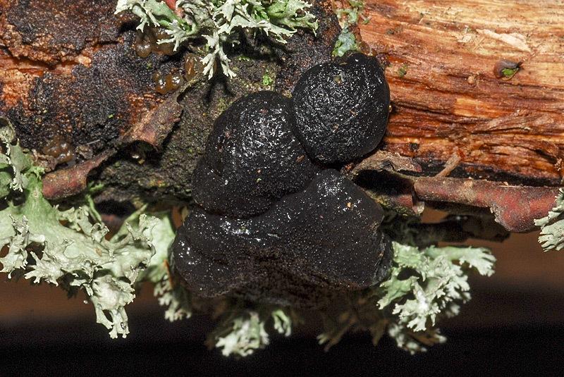 Exidia glandulosa 03b.jpg