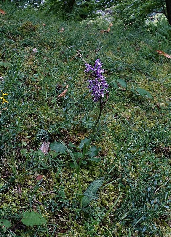 Dactylorhiza-maculata-subsp.-fuchsii-(5).jpg.a32ffb5c72cbe0571dc1abf36a1f5352.jpg
