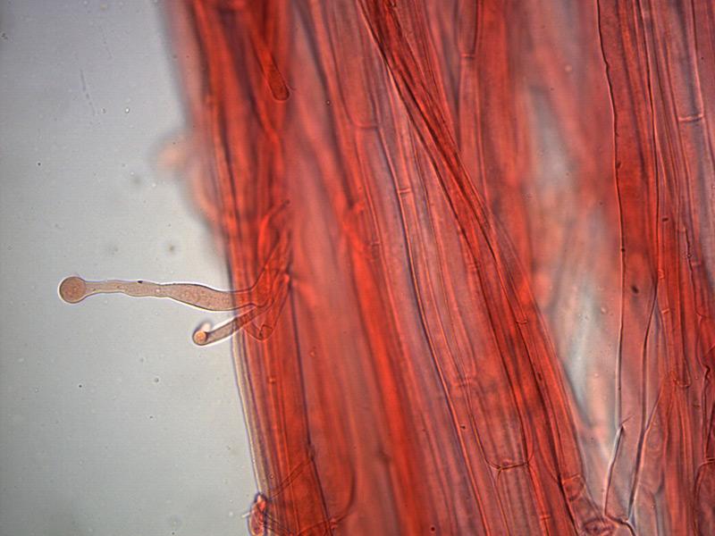 Galerina-clavata-caulocistidi-3_400x-000003.jpg