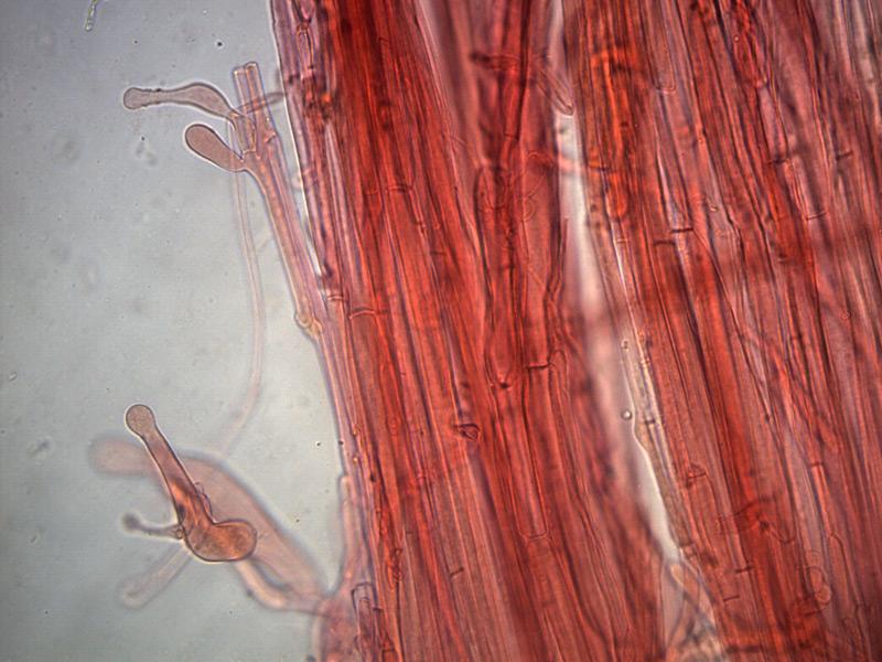 Galerina-clavata-caulocistidi-4_400x-000003.jpg