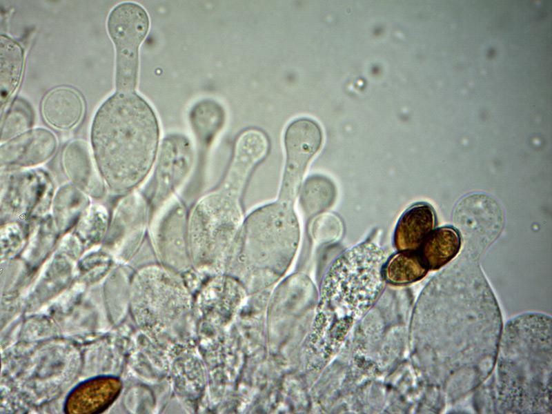 Galerina-clavata-cheilocistidi-25_1000x-000003.jpg