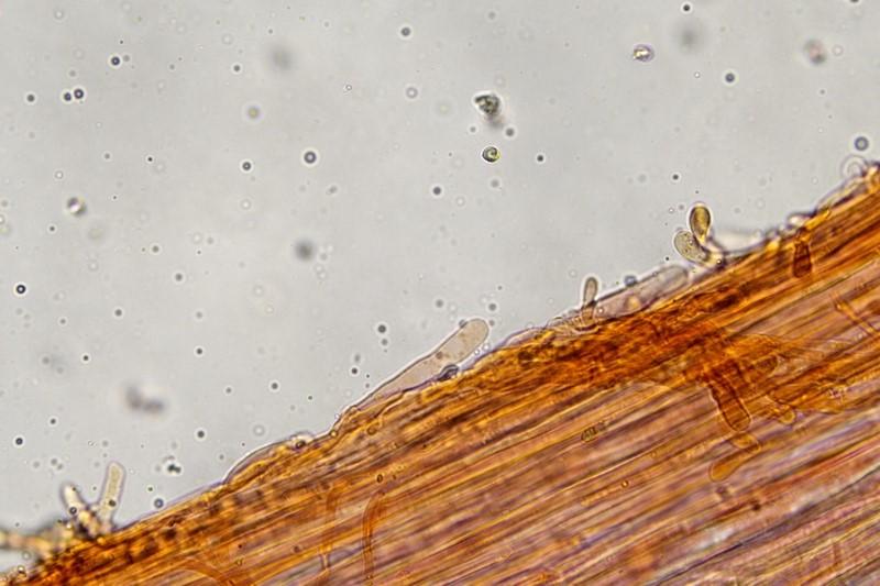 Caulocistidi 400X15.jpg