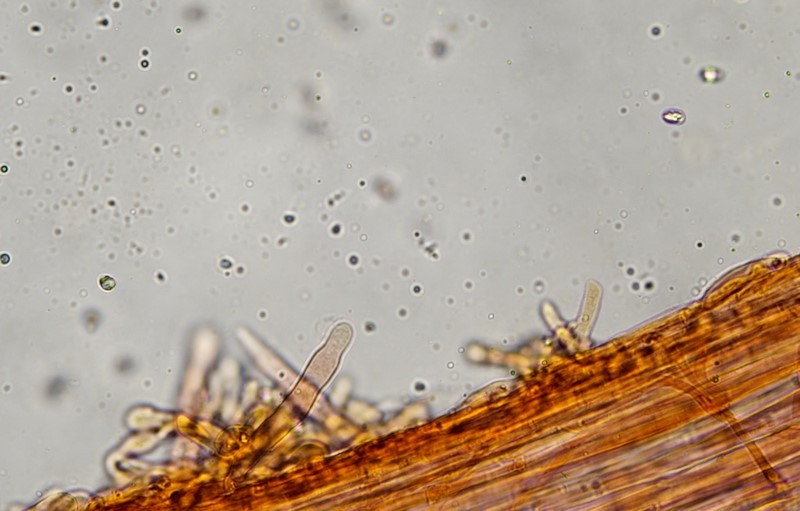 Caulocistidi 400X11.jpg