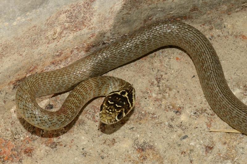 Biacco - Hierophis viridiflavus.jpg