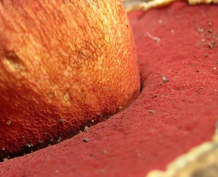 Boletus_rhodoxanthus2.jpg