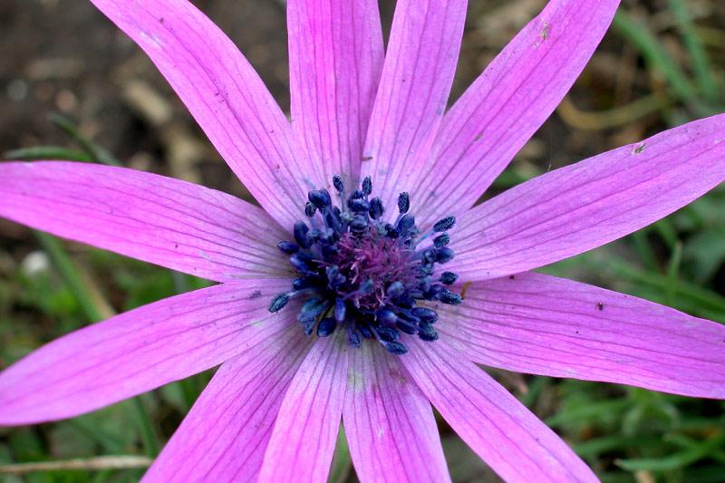 anemoneDSCN5938.jpg