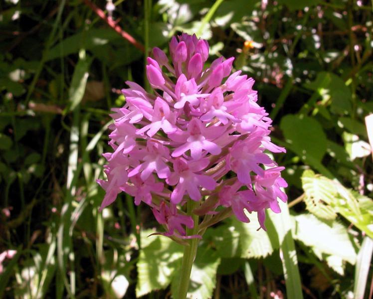 orchispiramidalisDSCN7853.jpg