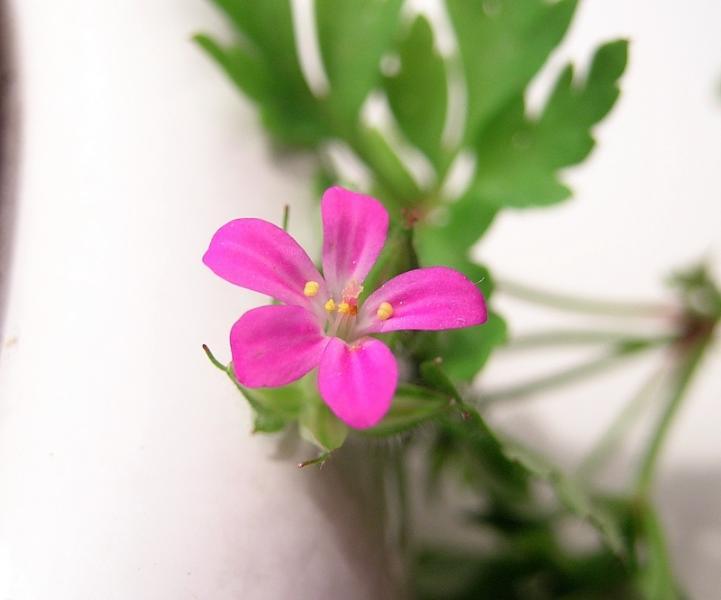 Geranium_purpureum_Vill.jpg