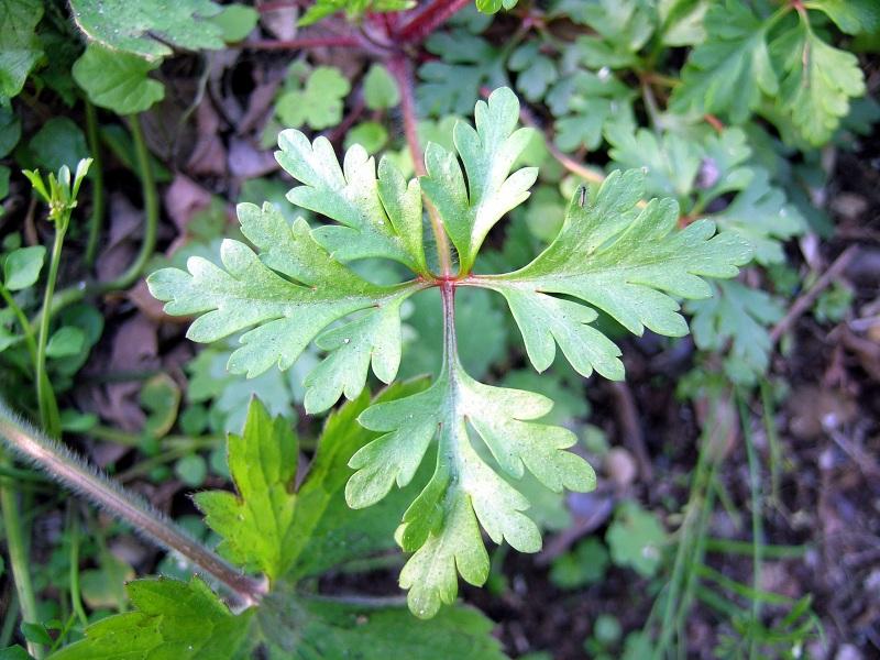 Geranium_purpureum_Vill5.jpg