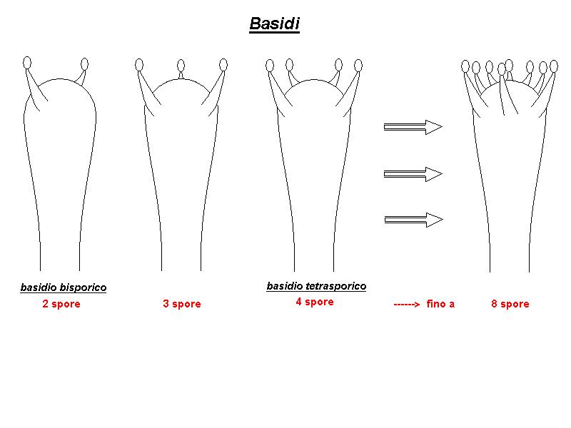 Basidi.jpg