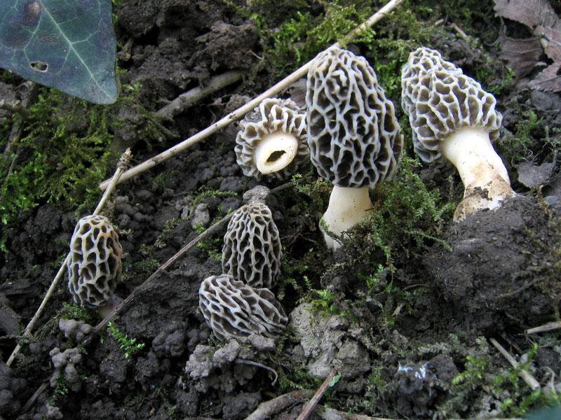 morchella_vulgaris.jpg