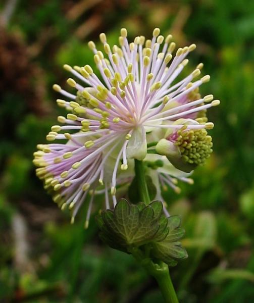 10_esplosaceae___img_1549.jpg