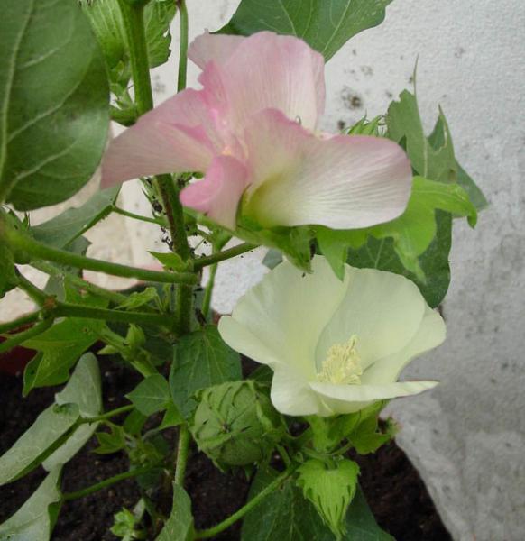 7_Cotone_pianta_del_Gossypium__Fam._Malvaceae_013prova.jpg