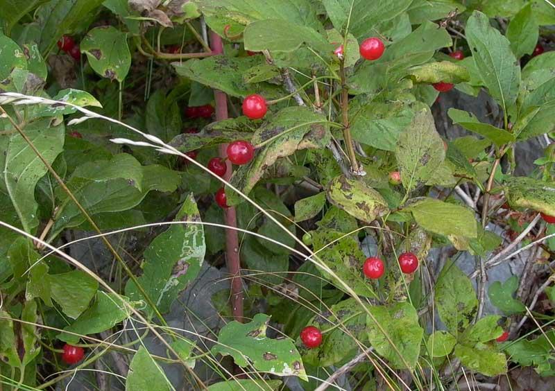 Tre arbusti con bacche foto dei fiori e delle piante for Pianta ornamentale con bacche rosse