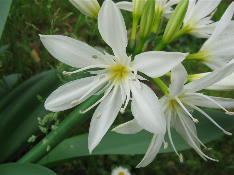 Giglio bianco foto dei fiori e delle piante da for Cabine di giglio selvatico