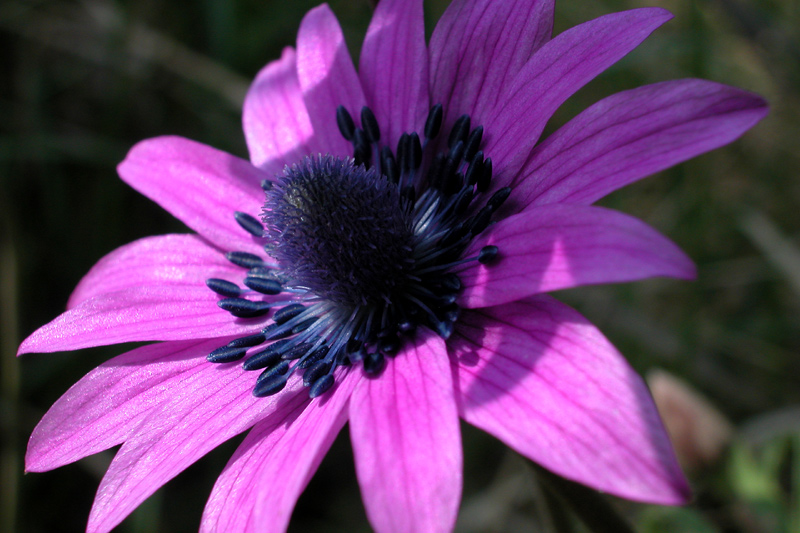 anemoneDSCN0262.jpg
