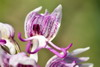 Orchis antropophora (L.) All. - last post by Baffo
